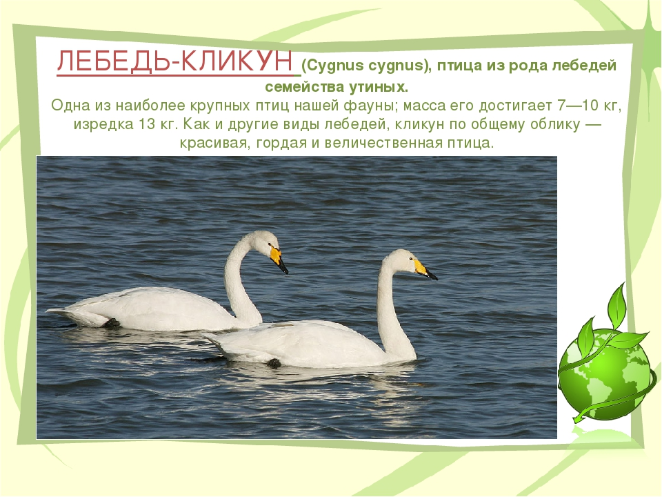 ЛЕБЕДЬ-КЛИКУН (Cygnus cygnus), птица из рода лебедей семейства утиных. Одна и...