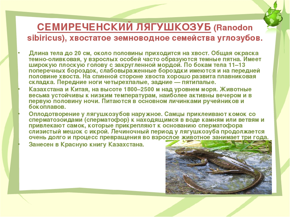 СЕМИРЕЧЕНСКИЙ ЛЯГУШКОЗУБ (Ranodon sibiricus), хвостатое земноводное семейства...