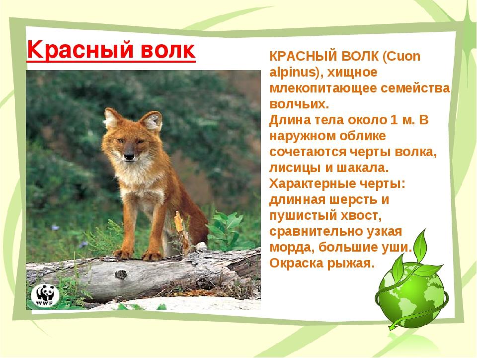 Красный волк КРАСНЫЙ ВОЛК (Сuon alpinus), хищное млекопитающее семейства волч...