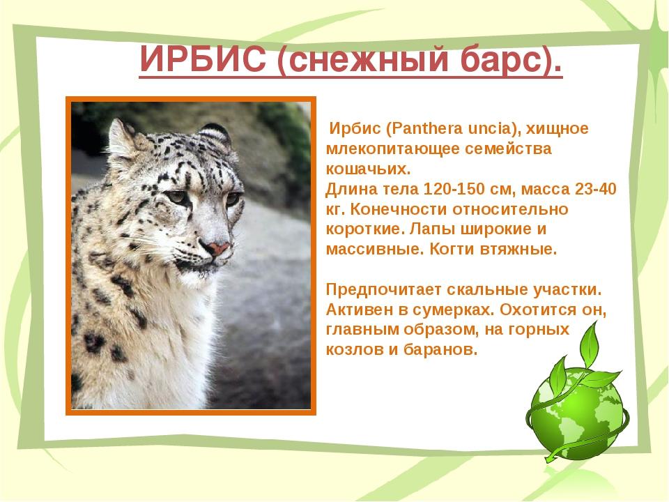 ИРБИС (снежный барс). Ирбис (Panthera uncia), хищное млекопитающее семейства...