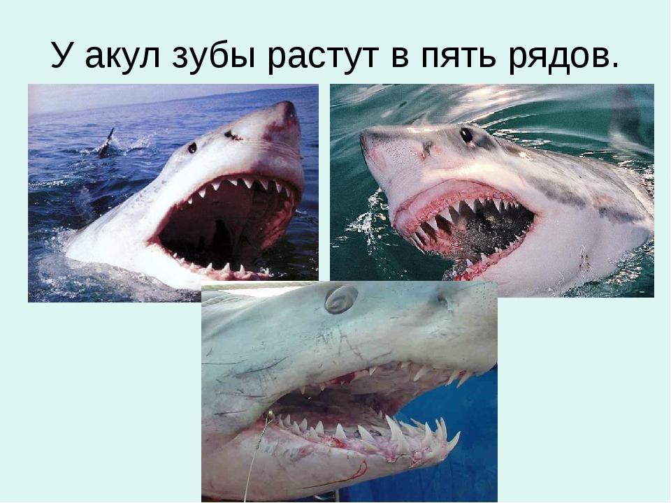 У акул зубы растут в пять рядов.