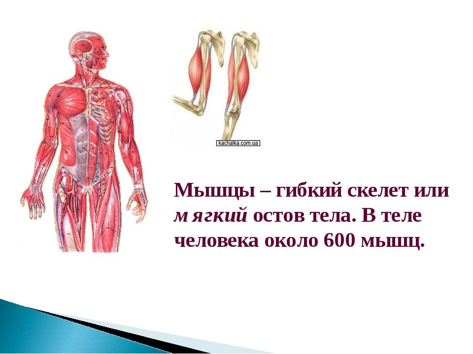 Мышцы – гибкий скелет или мягкий остов тела. В теле человека около 600 мышц.