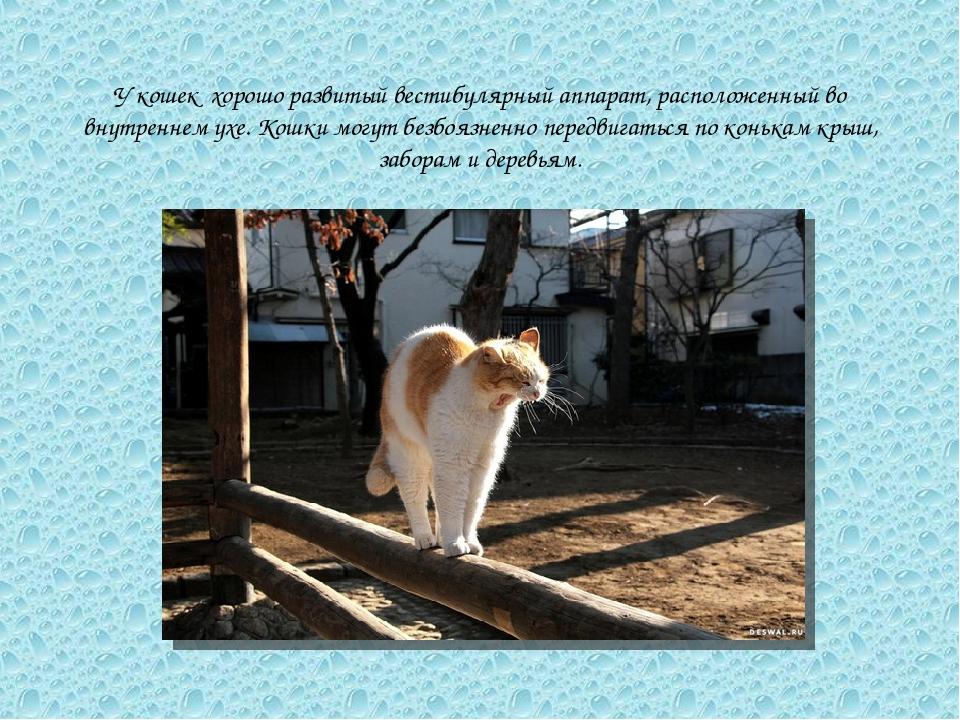 У кошек хорошо развитый вестибулярный аппарат, расположенный во внутреннем ух...