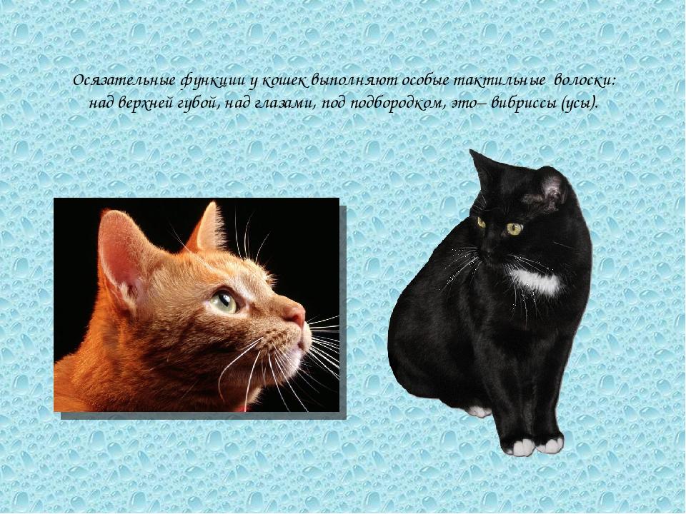 Осязательные функции у кошек выполняют особые тактильные волоски: над верхней...