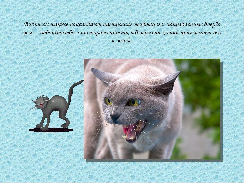 Вибриссы также показывают настроение животного: направленные вперёд усы – люб...