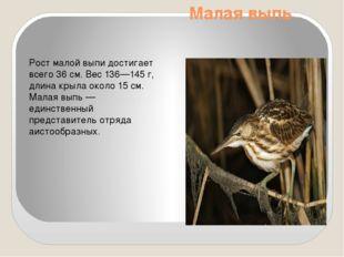 Малая выпь Рост малой выпи достигает всего 36см. Вес 136—145 г, длина крыла