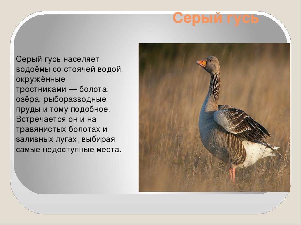 Серый гусь Серый гусь населяет водоёмы со стоячей водой, окружённые тростника...