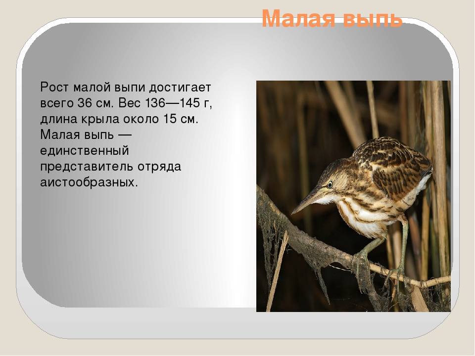 Малая выпь Рост малой выпи достигает всего 36см. Вес 136—145 г, длина крыла...