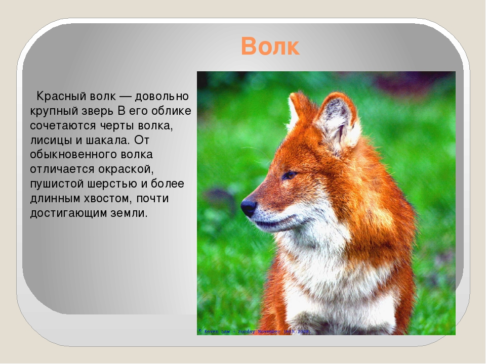 Волк Красный волк— довольно крупный зверь В его облике сочетаются черты вол...