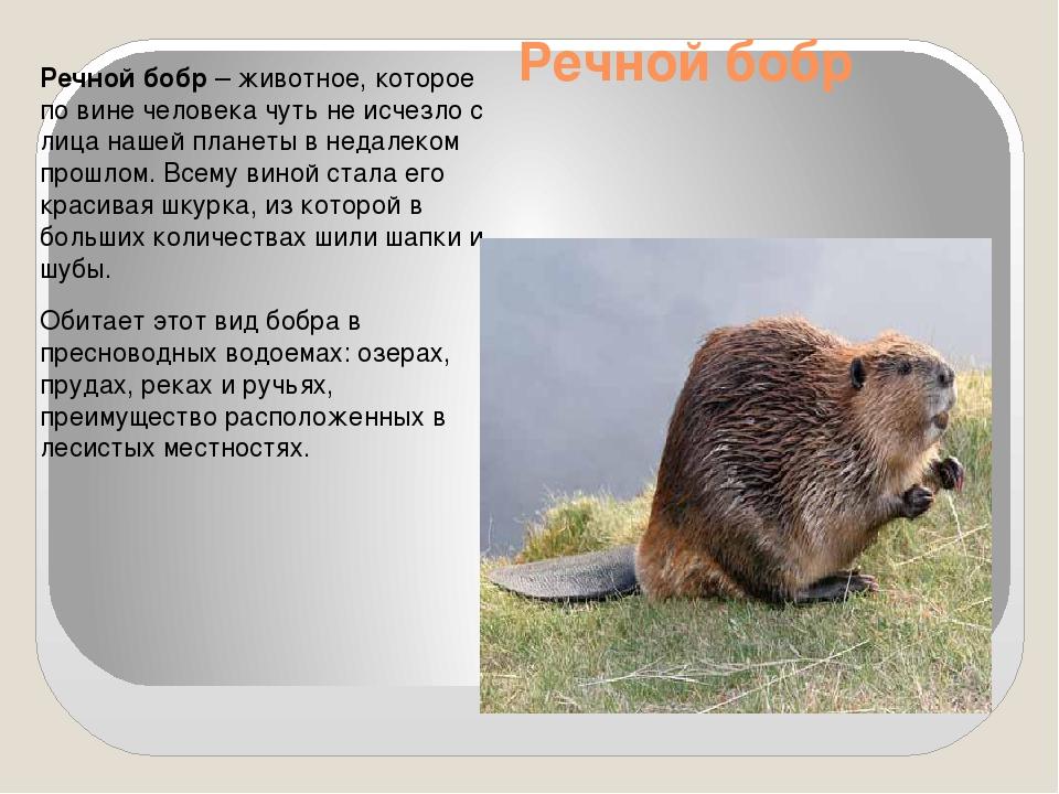 Речной бобр Речной бобр – животное, которое по вине человека чуть не исчезло...