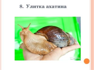 8. Улитка ахатина