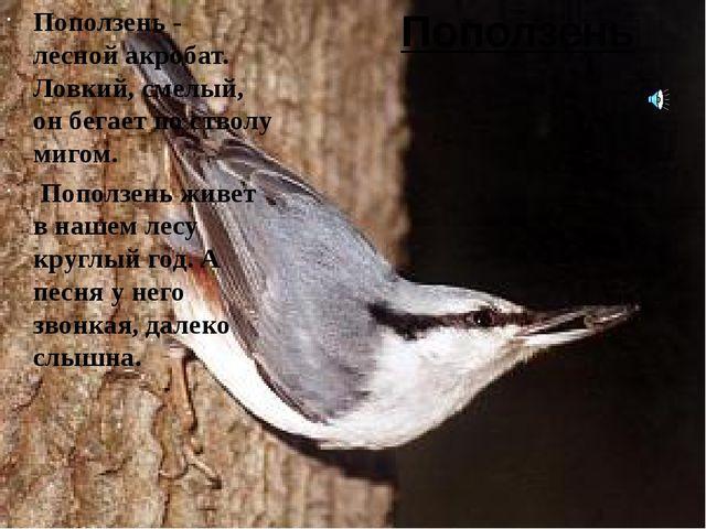 Поползень Поползень - лесной акробат. Ловкий, смелый, он бегает по стволу миг...