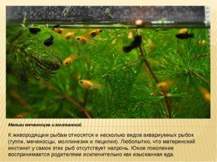 К живородящим рыбам относятся и несколько видов аквариумных рыбок (гуппи, меч