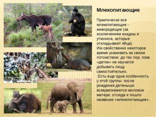 Млекопитающие Практически все млекопитающие - живородящие (за исключением ехи