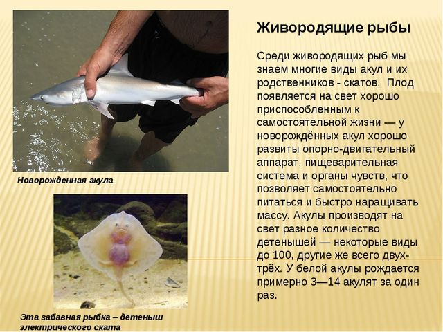 Живородящие рыбы Среди живородящих рыб мы знаем многие виды акул и их родстве...