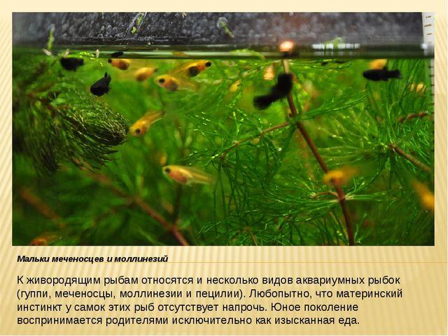 К живородящим рыбам относятся и несколько видов аквариумных рыбок (гуппи, меч...