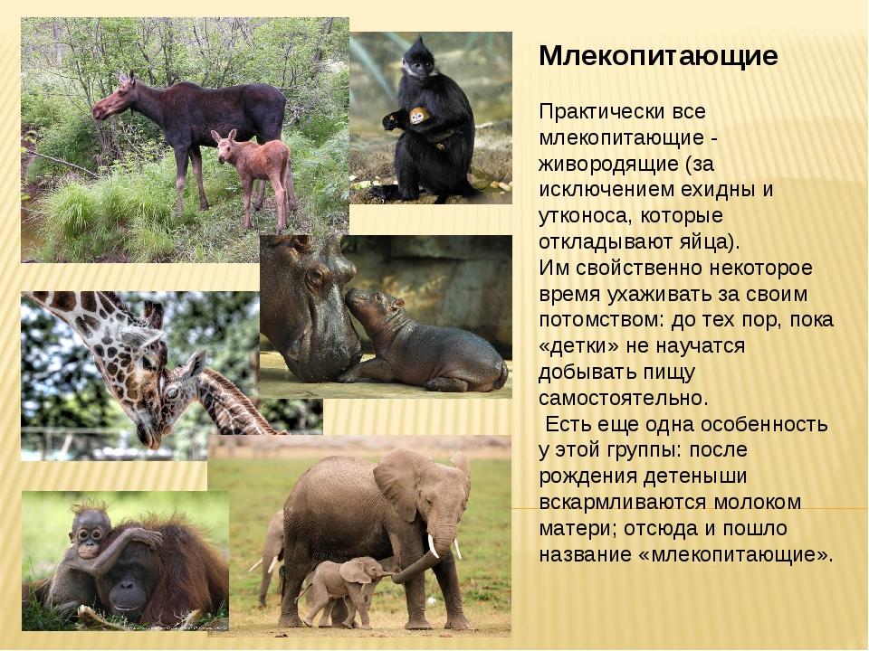 Млекопитающие Практически все млекопитающие - живородящие (за исключением ехи...
