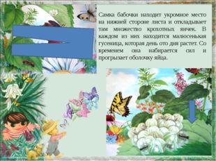 Самка бабочки находит укромное место на нижней стороне листа и откладывает та