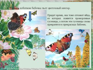 Тонким хоботком бабочка пьет цветочный нектар. Придет время, она тоже отложит