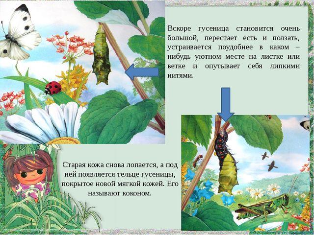 Вскоре гусеница становится очень большой, перестает есть и ползать, устраивае...