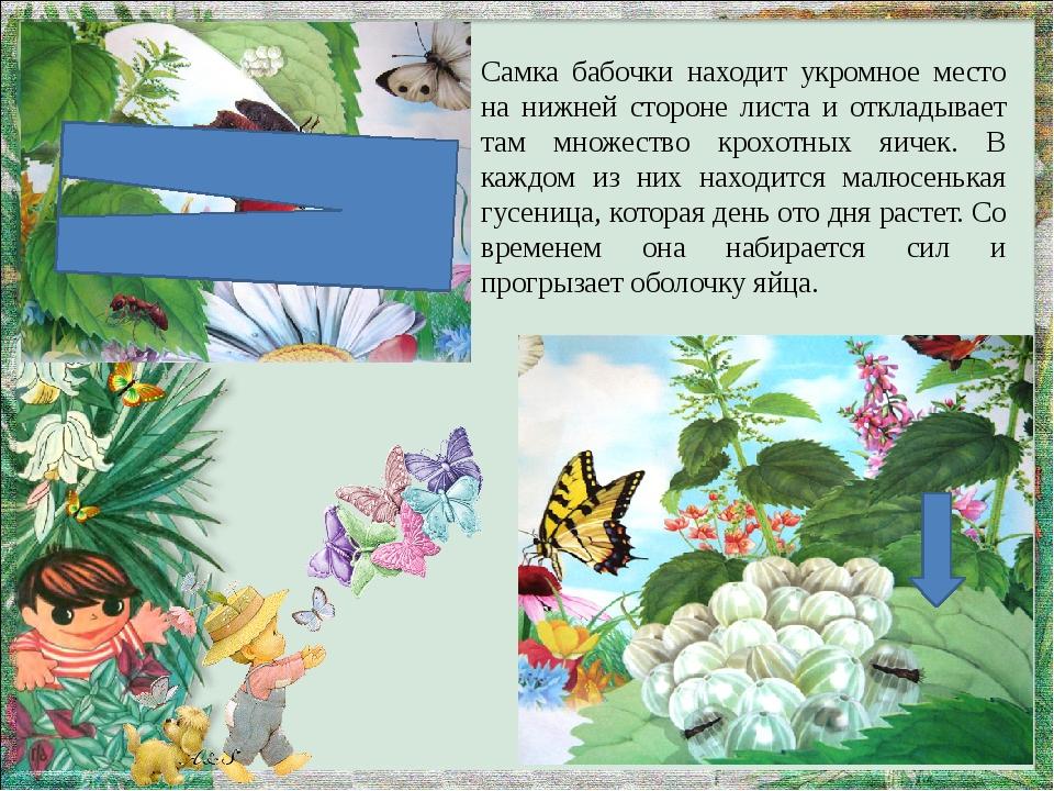 Самка бабочки находит укромное место на нижней стороне листа и откладывает та...