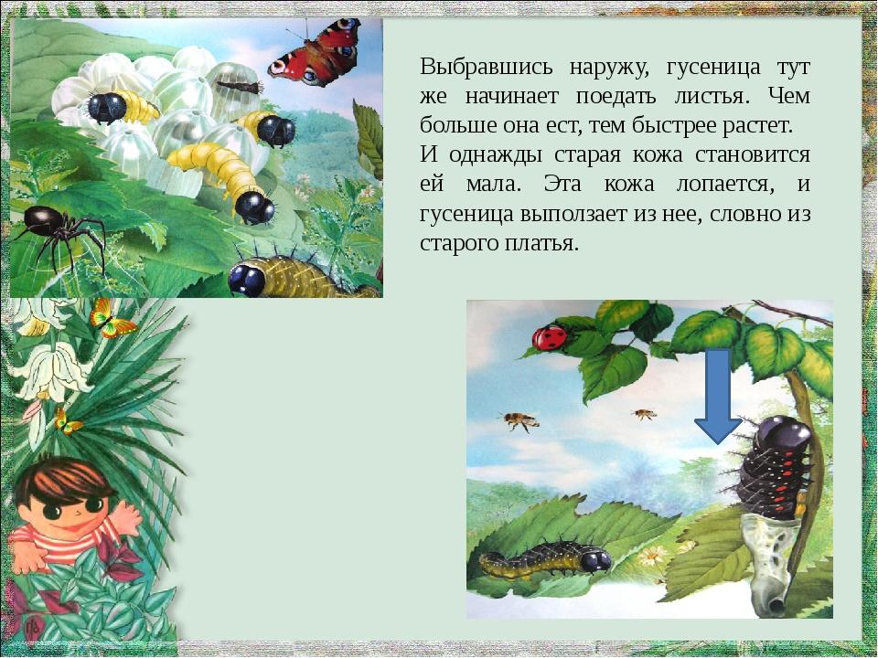 Выбравшись наружу, гусеница тут же начинает поедать листья. Чем больше она ес...