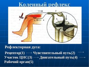 Коленный рефлекс Рефлекторная дуга: Рецептор(1) Чувствительный путь(2) Участо