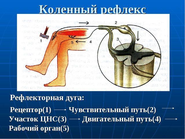 Коленный рефлекс Рефлекторная дуга: Рецептор(1) Чувствительный путь(2) Участо...