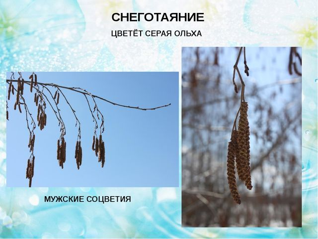 Ольха – мужские и женские соцветия СНЕГОТАЯНИЕ