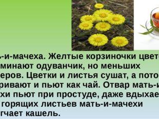 Мать-и-мачеха.Желтые корзиночки цветов напоминают одуванчик, но меньших разм