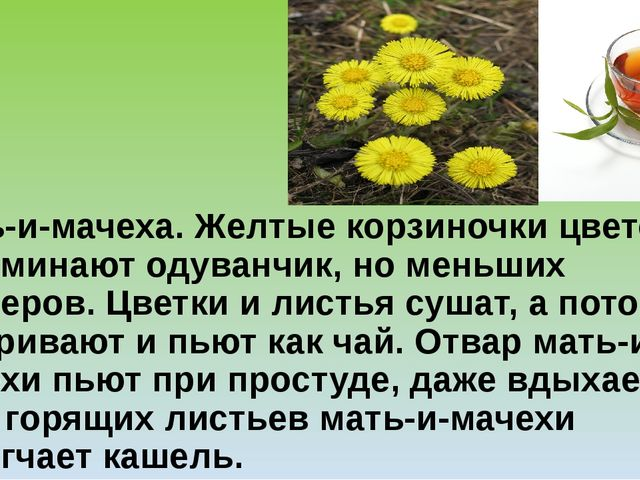 Мать-и-мачеха.Желтые корзиночки цветов напоминают одуванчик, но меньших разм...