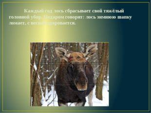 Каждый год лось сбрасывает свой тяжёлый головной убор. Недаром говорят: лос