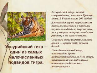 Уссурийский тигр – один из самых малочисленных подвидов тигра. Уссурийский ти