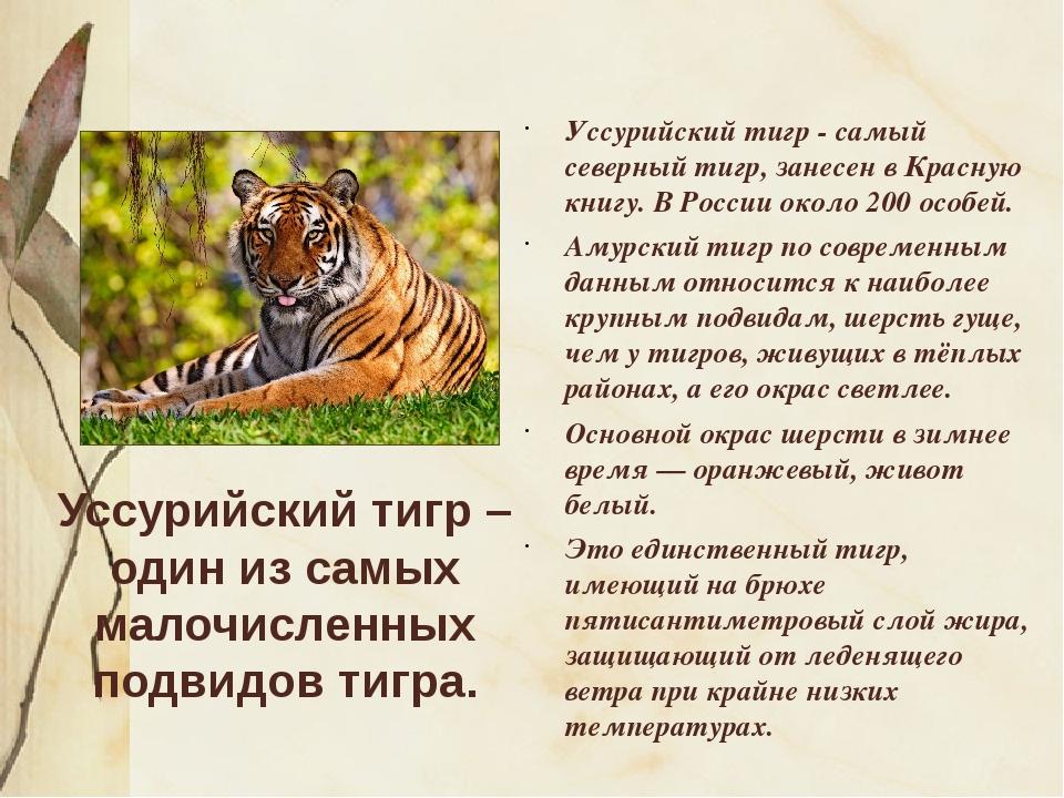 Уссурийский тигр – один из самых малочисленных подвидов тигра. Уссурийский ти...
