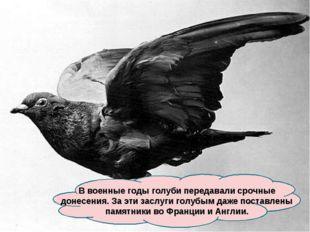 В военные годы голуби передавали срочные донесения. За эти заслуги голубым да