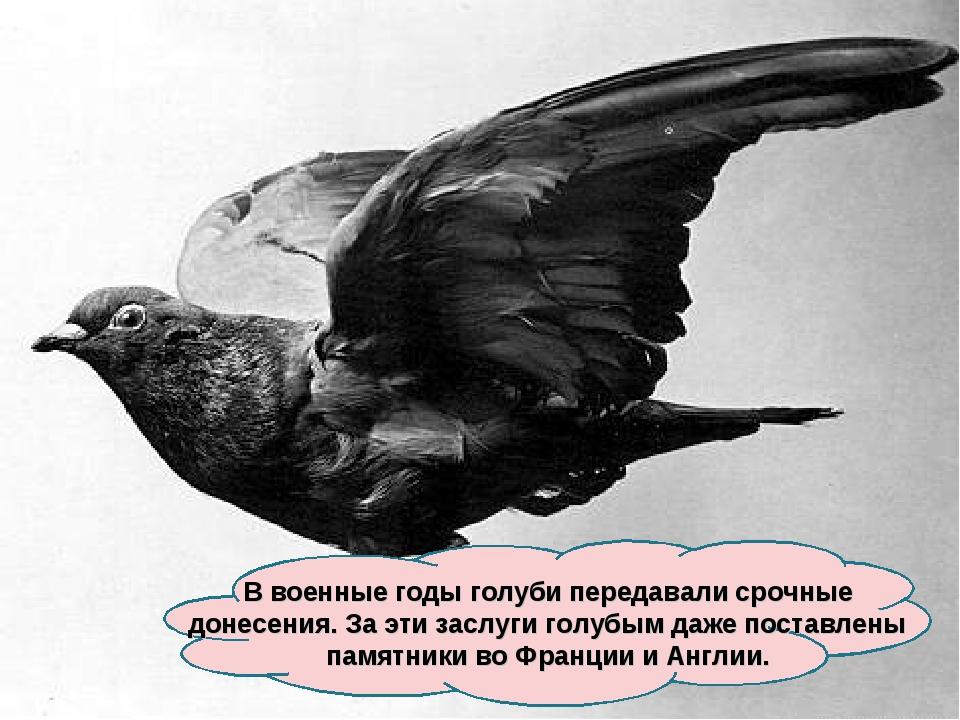 В военные годы голуби передавали срочные донесения. За эти заслуги голубым да...