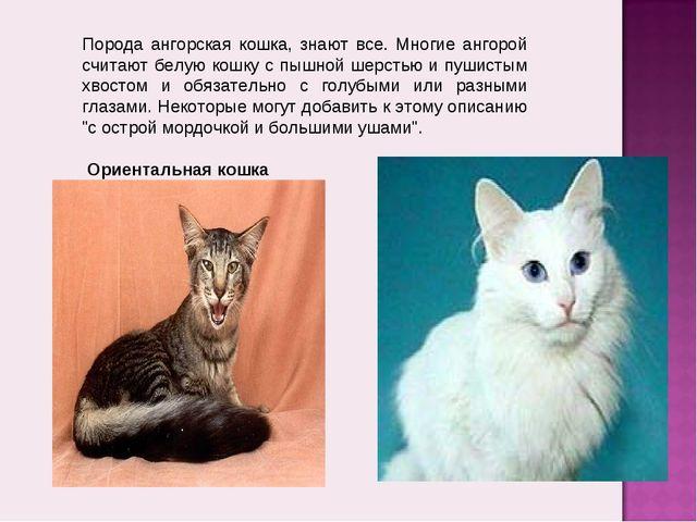 Порода ангорская кошка, знают все. Многие ангорой считают белую кошку с пышно...