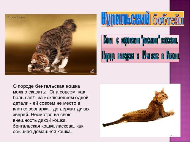 """О породе бенгальская кошка можно сказать: """"Она совсем, как большая!"""", за искл..."""
