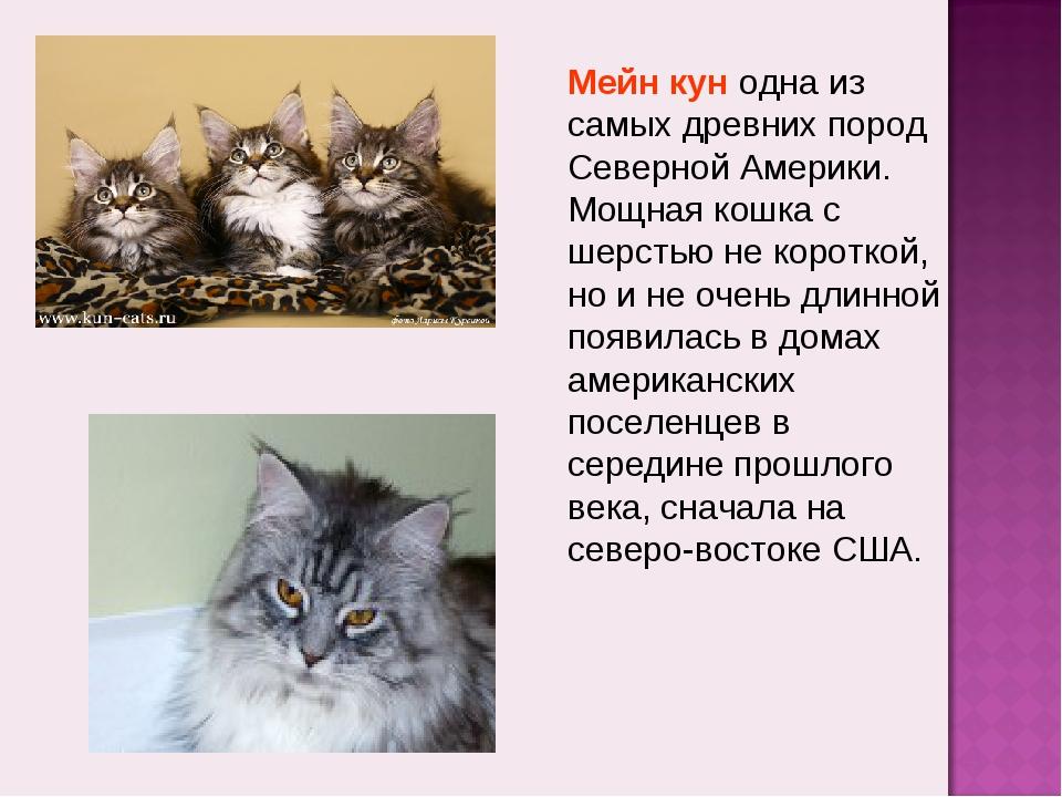 Мейн кун одна из самых древних пород Северной Америки. Мощная кошка с шерстью...