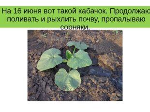На 16 июня вот такой кабачок. Продолжаю поливать и рыхлить почву, пропалываю