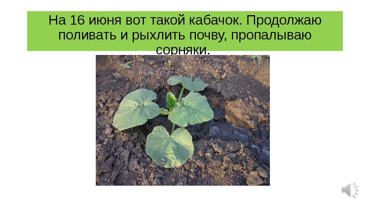 На 16 июня вот такой кабачок. Продолжаю поливать и рыхлить почву, пропалываю...