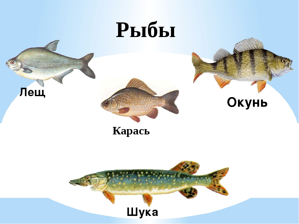 Рыбы Лещ Окунь Шука Карась