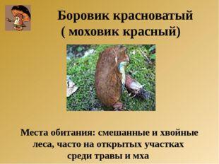Боровик красноватый ( моховик красный) Места обитания: смешанные и хвойные ле