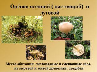 Опёнок осенний ( настоящий) и луговой Места обитания: листопадные и смешанные
