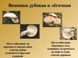 Места обитания: на мертвых и гнилых пнях, стволах дубов; встречается ярусами