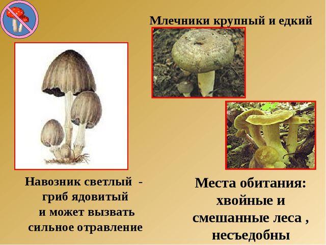 Навозник светлый - гриб ядовитый и может вызвать сильное отравление Млечники...