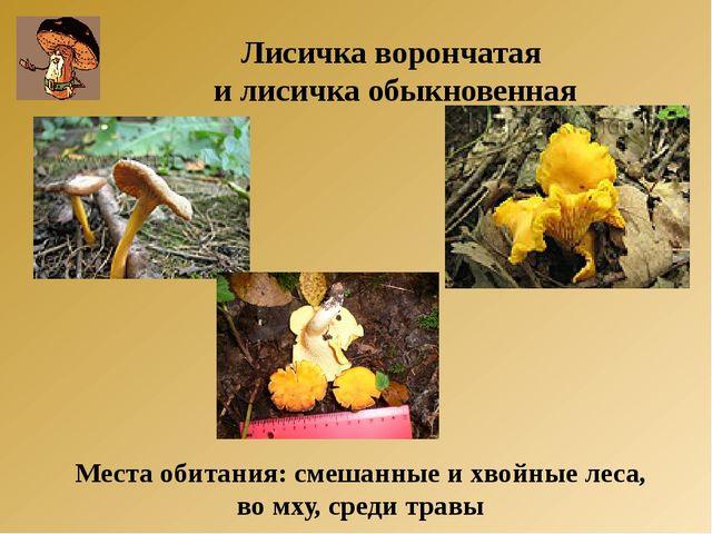 Места обитания: смешанные и хвойные леса, во мху, среди травы Лисичка воронча...