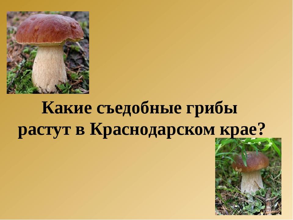 Какие съедобные грибы растут в Краснодарском крае?