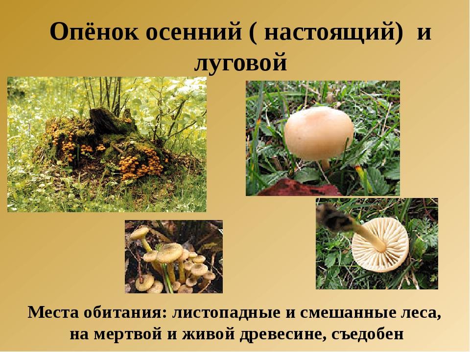 Опёнок осенний ( настоящий) и луговой Места обитания: листопадные и смешанные...