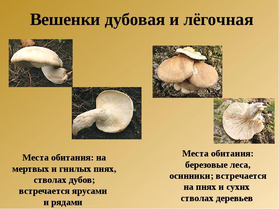 Места обитания: на мертвых и гнилых пнях, стволах дубов; встречается ярусами...
